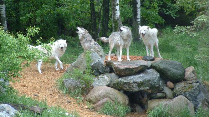 Bobry i wilki psują, państwo płaci
